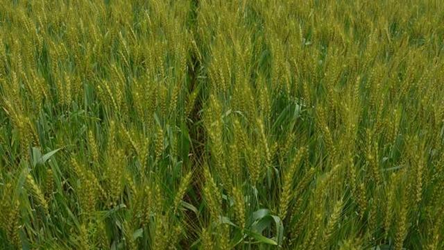U usevima pšenice primećeno prisustvo pepelnice, pegavosti i rđe