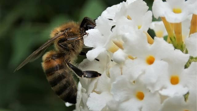 Saveti: Kako zaštititi pčele prilikom tretmana voća