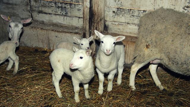 Kako primetiti ali i lečiti rahitis kod jagnjadi