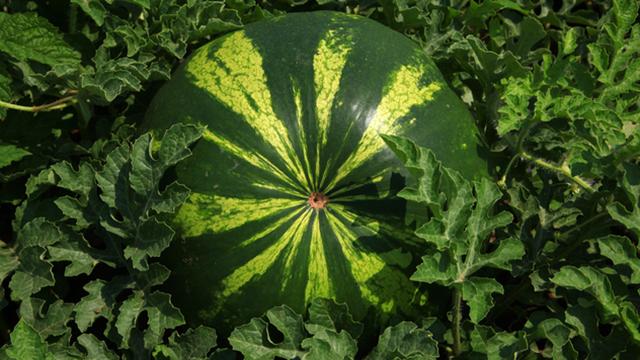Saveti za uspešno gajenje lubenice