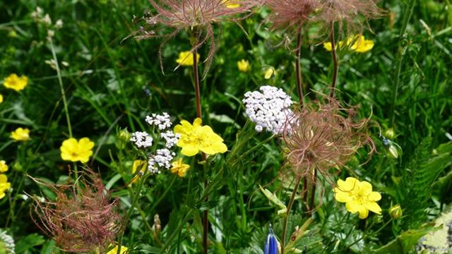 Gajenje hajdučke trave - Otporna i na sušu i na hladnoću