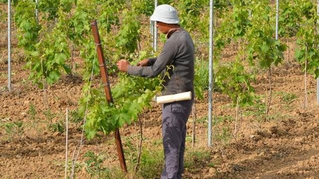 Za jedan sat posla sezonskim radnicima plaća se od 200 do 250 dinara