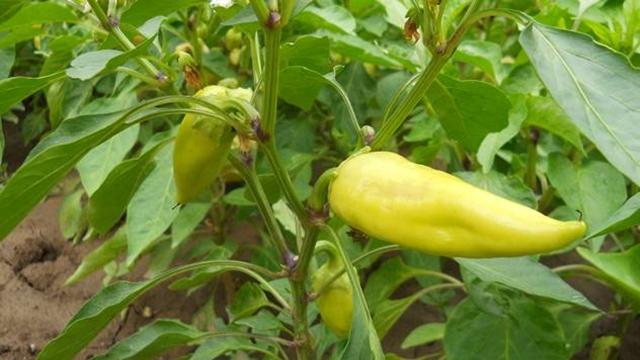 Zašto su kultiviranje i okopavanje važne mere za proizvodnju paprike