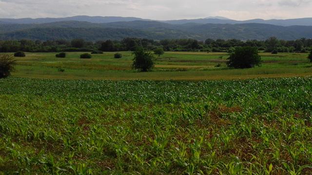 Suša preti kukuruzu - visok prinos pod znakom pitanja