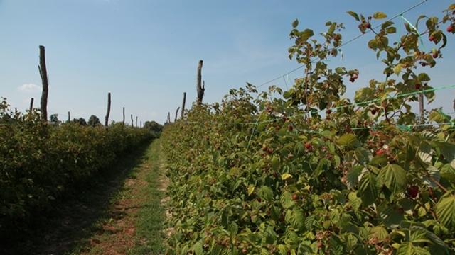 Povoljna vlažnost zemljišta tokom cele vegetacije - osnov za dobar razvoj malina