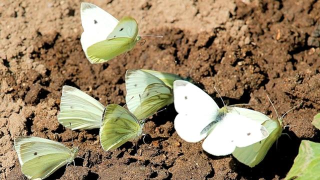 Kako se rešiti leptira kupusara u organskoj bašti