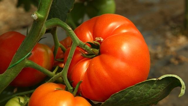 Koliko je opasna crna prstenasta pegavost paradajza