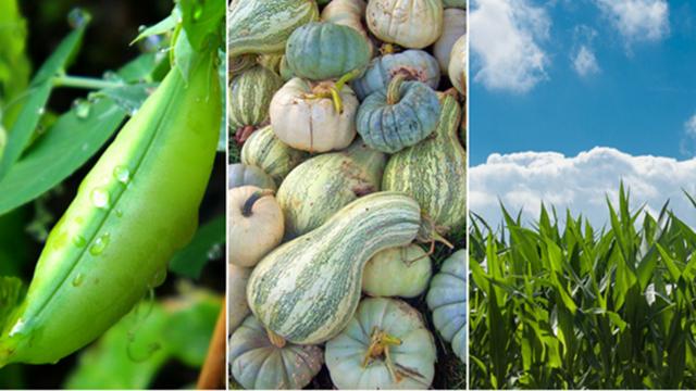 Udružena sadnja: Kako da gajite tikve, kukuruz i pasulj