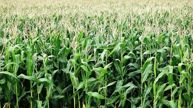 Kukuruzni plamenac-posledica gajenja u monokulturi
