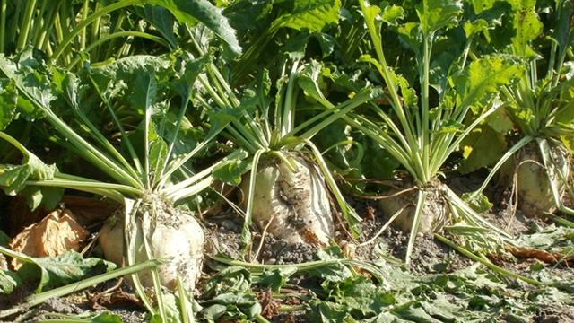 Na većini parcela dostignut epidemijski prag pegavosti lista šećerne repe