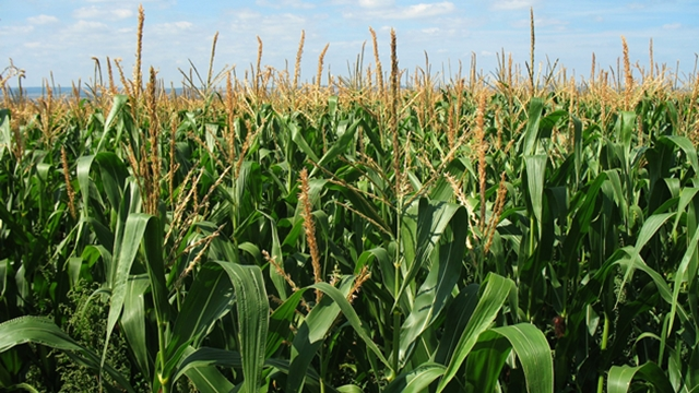 Kako na usevu kukuruza primetiti nedostatak mikro i makroelemenata u zemljištu