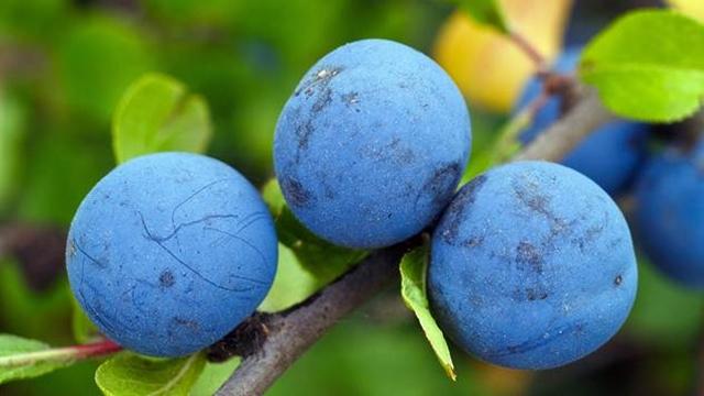 Vreme berbe šljive utiče na kvalitet plodova
