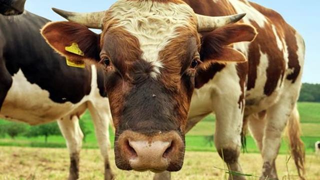Konstantan i visok porast životinja cilj svakog stočara