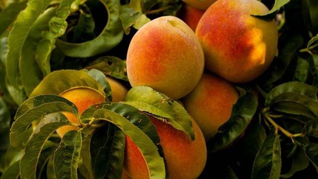 Kod breskovače miris i aroma zavise od destilisanih sirovina