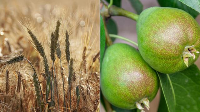 Žitnicu transformišu u voćnjake