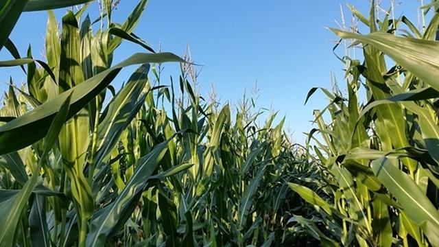 Kukuruzu, šećernoj repi, soji i suncokretu pogodovali temperaturni uslovi protekle nedelje
