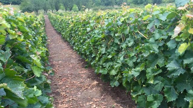 Pravo leto tokom avgusta - spas za vinograde!
