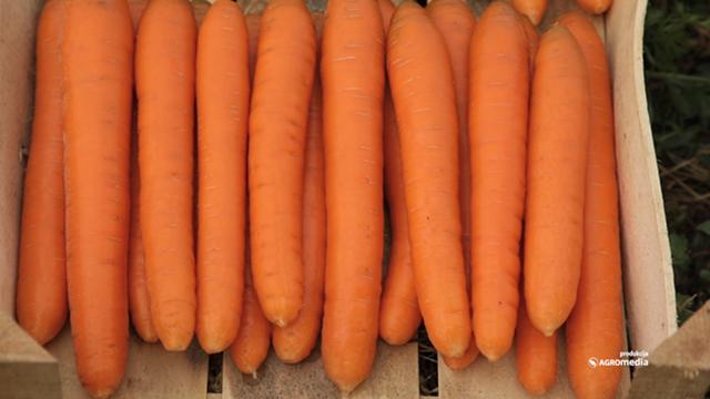 Prinosi ovih hibrida šargarepe su od 80 do 105 tona po hektaru