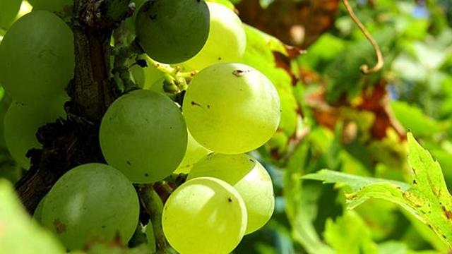 Defolijacija vinove loze