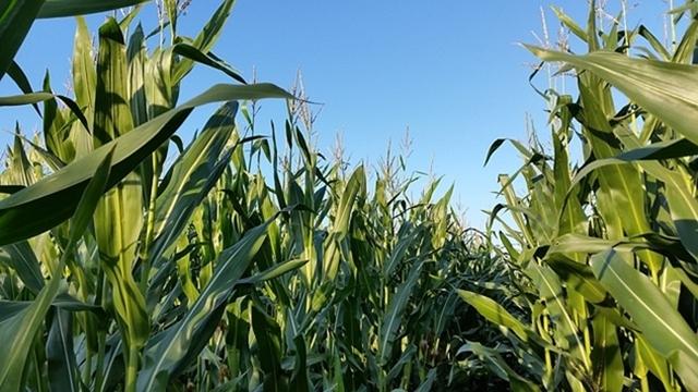 """Kako lečiti """"ludi vrh"""" kukuruza"""