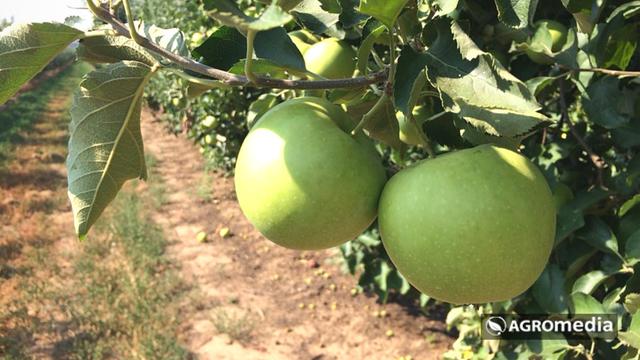 Od zlata jabuka [AGROFOTO]