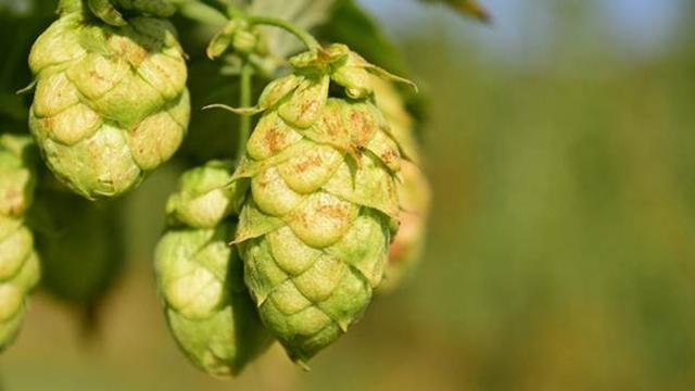 Veliki deo sirovina za proizvodnju piva nabavlja se lokalno