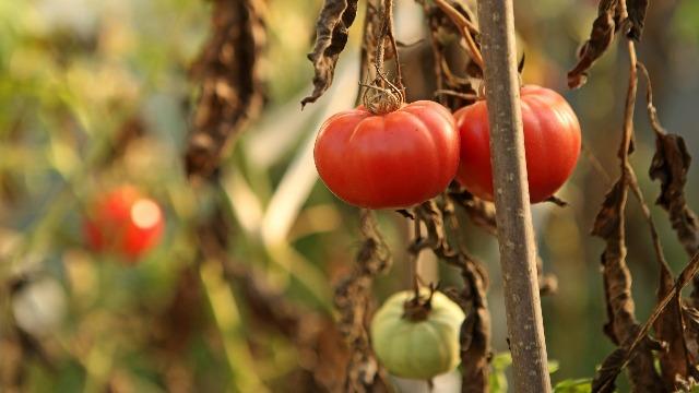 Aplikacija koja otkriva bolesti biljaka