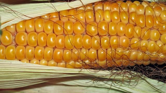 Najčešća gljivična oboljenja kukuruza