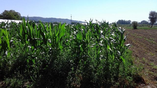 U rasinskom kraju rekordni prinosi kukuruza