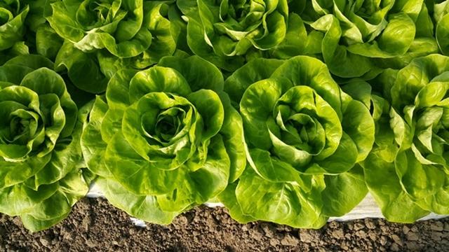 Plamenjača - gljivično oboljenje zelene salate