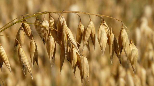 Svetske cene hrane u septembru u padu
