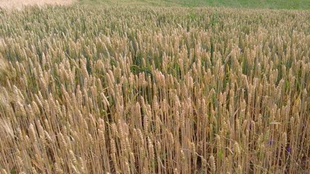 Raž: Odlična zamena za pšenicu u sušnim periodima