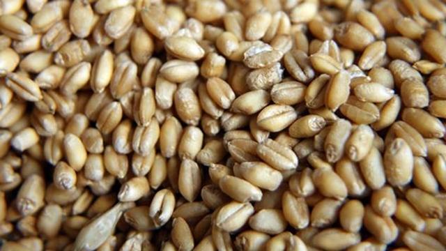 Uskoro počinje izvoz pšenice u Egipat