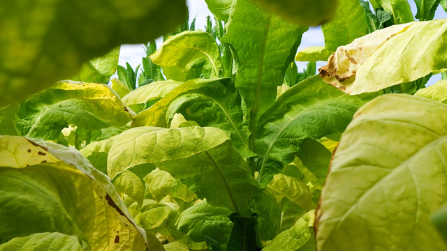 I pčele i zaštita: Nikotin kao organski insekticid