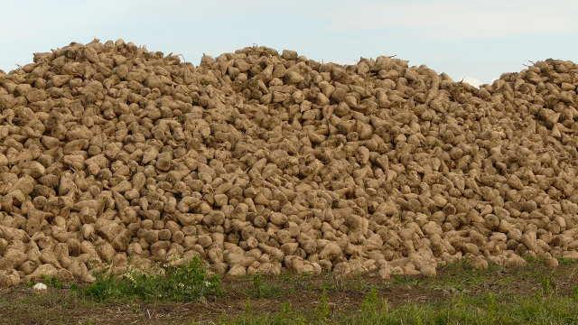 Trula repa u Bačkoj pravi probleme i ratarima i šećeranama