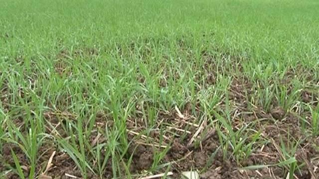 Potrebe strnih žitarica - đubrenje u jesen