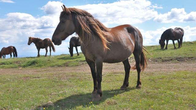 Stada ovaca i goveda zamenilo krdo od pedesedak poludivljih konja
