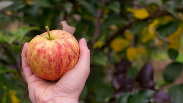 Ključne tačke u proizvodnji jabuke i primena digitalne tehnologije