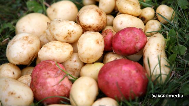 Dobra krtola je najvažnija za sadnju krompira