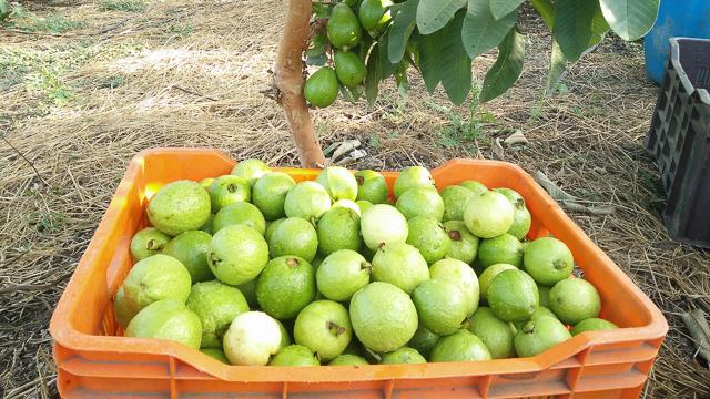 Uzgoj egzotičnog voća: Guava