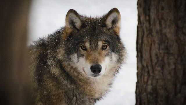 Lika - zemlja vukova