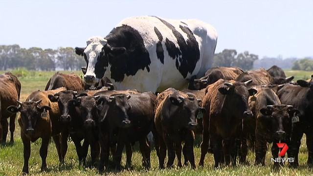 Da li ste nekada videli bika visokog kao Majkl Džordan?