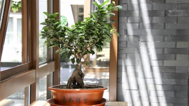 Gajenje bonsai drveta – umetnost ili dobra tehnika?