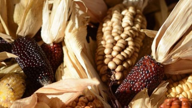 Kukuruzna silaža kao najobimniji kabasti obrok u ishrani goveda