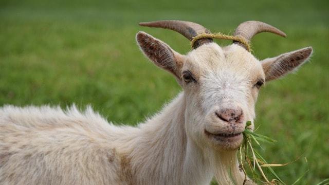 I koze mogu biti vredni radnici