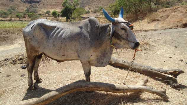 Najpoznatije tovarne životinje u poljoprivredi