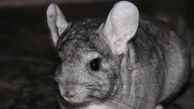 Zabranjen uzgoj životinja radi proizvodnje krzna i kože