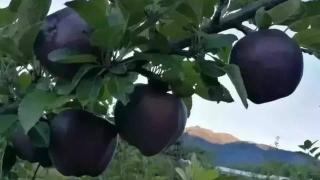 Crne dijamantske jabuke koštaju čak 20 dolara po komadu, ali niko neće da ih gaji