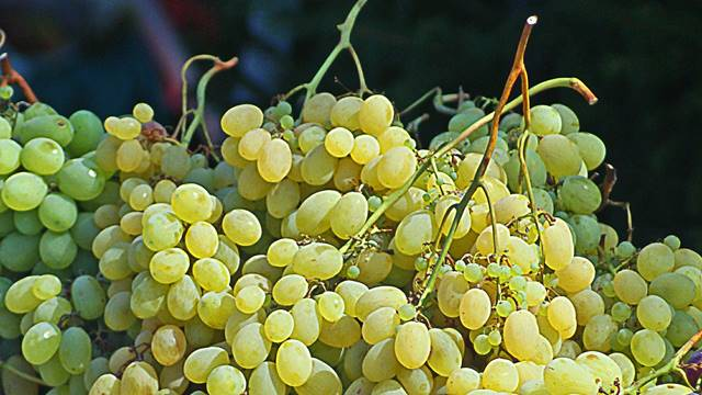 Velika potražnja belog grožđa na evropskom tržištu