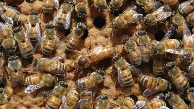 Virus deformisanih krila: Mogu li gljive pomoći pčelama da opstanu?